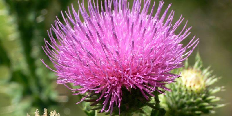 ЧЕРТОПОЛОХ фото растения, магические и полезные свойства