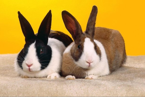 Что нужно знать о Голландских кроликах?