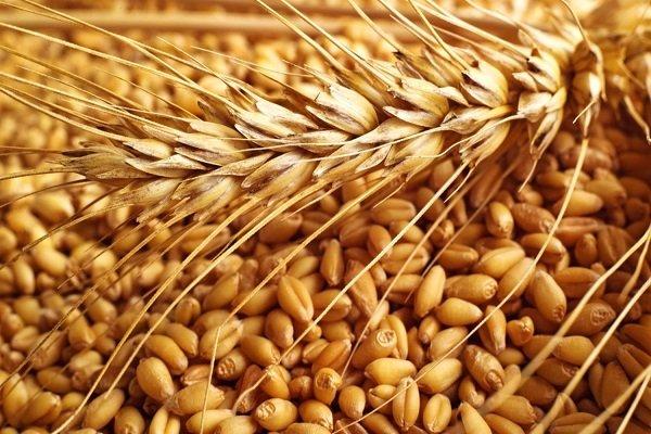 Что такое фуражная пшеница? Особенности выбора и использования