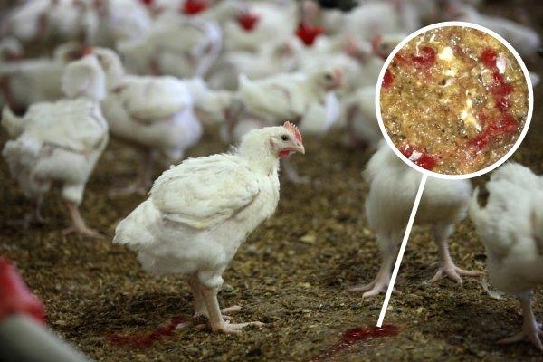 Что такое кокцидиоз у кур и цыплят? Пути заражения, особенности лечения и профилактики