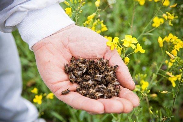 Что такое пчелиный подмор, чем он полезен и как его собрать?