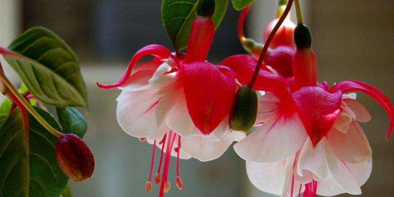 Цветы ФУКСИЯ описание, фото, посадка и уход