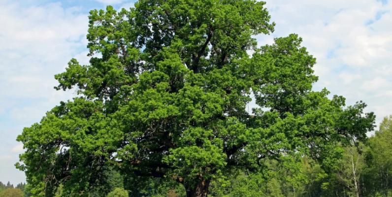 ДУБ ОБЫКНОВЕННЫЙ ботаническое описание и фото