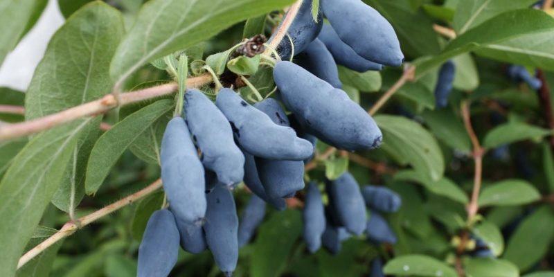 Эффективные подкормки для жимолости, чтобы получитьбогатый урожай