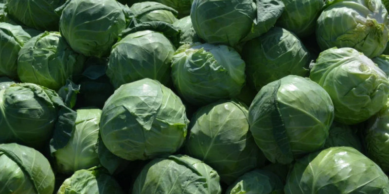 Этот урожайный сорт капусты мне посоветовали читатели и подписчики