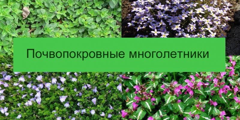 Фото и названия почвопокровных многолетников – цветущих и вечнозеленых