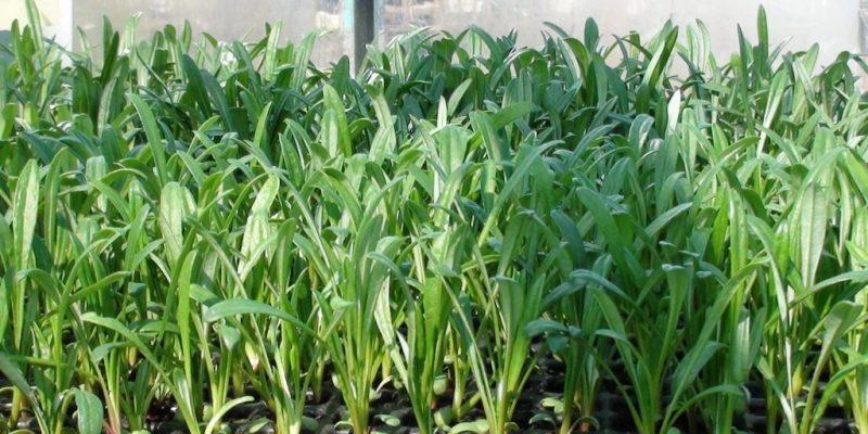 Гацания посев семян на рассаду в 2020 году: хитрости