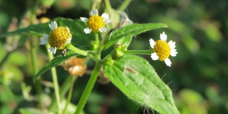 Галинсога мелкоцветковая описание, лечебные свойства и противопоказания