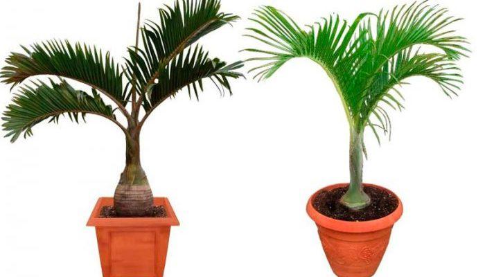 Гиофорба — бутылочная пальма
