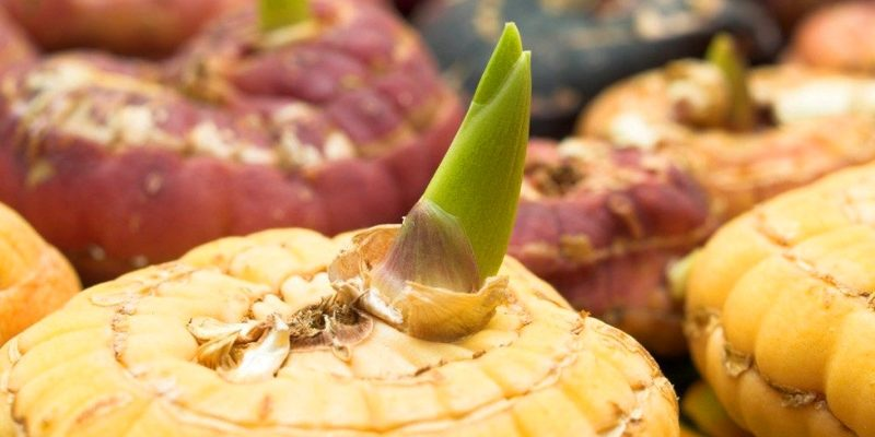 Гладиолусы: уборка и хранение луковиц, практические советы по выращиванию