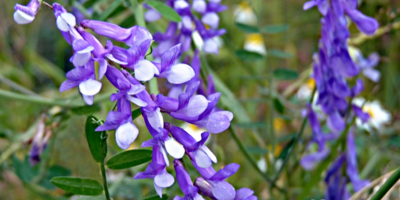 ГОРОШЕК МЫШИНЫЙ фото растения, виды, описание и свойства