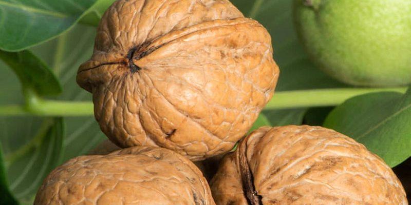 Грецкий орех: польза и вред для организма мужчины, женщины и ребёнка. Лечебные свойства и применение грецкого ореха.