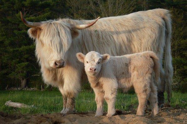 «Хайленд» – описание шотландской породы коров