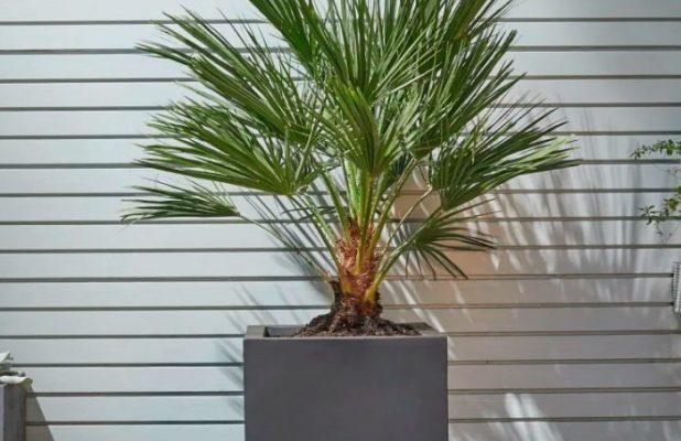 Хамеропс (Веерная пальма)