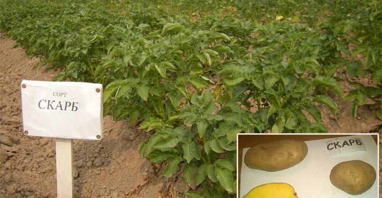 Характеристика картофеля Скарб – описание сорта, урожайность, фото, отзывы