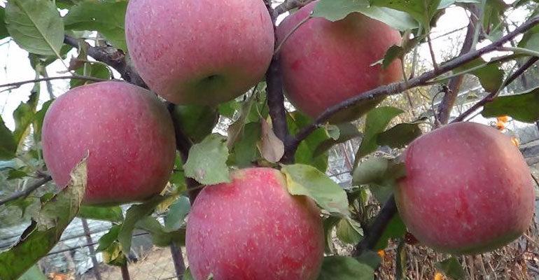 Характеристика сорта яблони Фуджи – описание дерева, урожайность, фото, отзывы