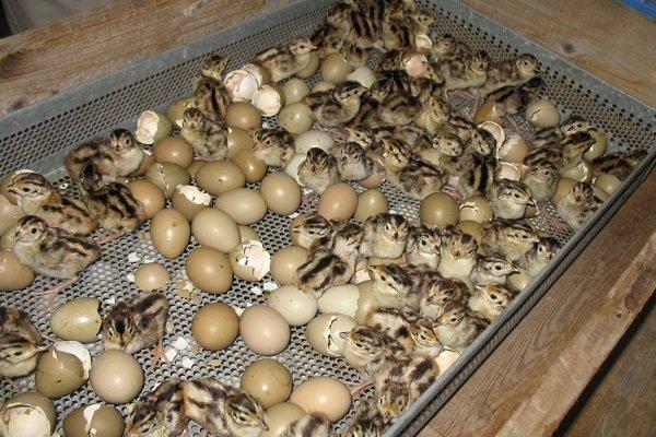 Инкубация фазаньих яиц: сроки, правила и действия после вылупления