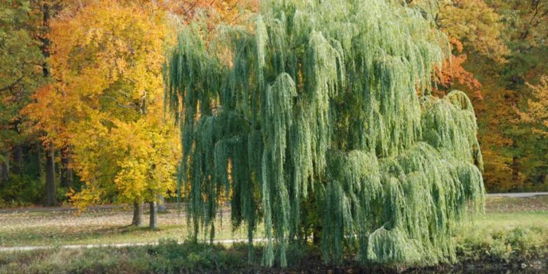 ИВА БЕЛАЯ фото и описание дерева, выращивание