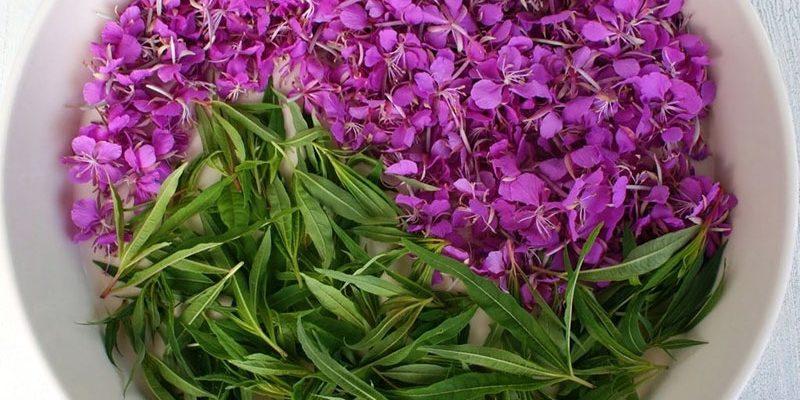Иван чай: лечебные свойства и противопоказания