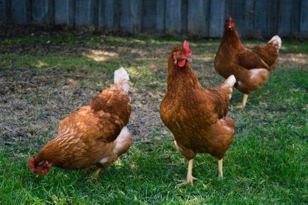 Яичные куры Хай Лайн: внешний вид и условиях их содержание