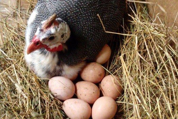 Яйценоскость цесарок или когда цесарки начинают нести яйца?