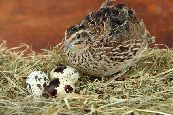 Яйценоскость перепела: сколько яиц несёт перепёлка?