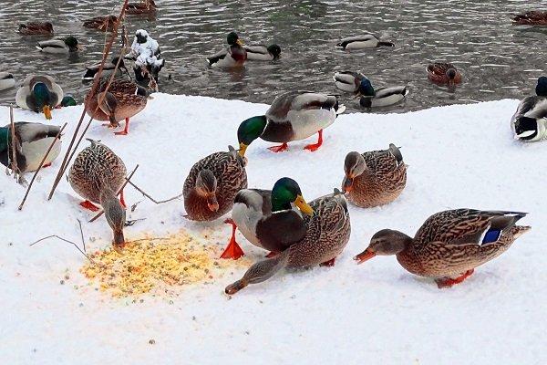 Как и чем кормить уток зимой: на улице, в теплице, в сарае?