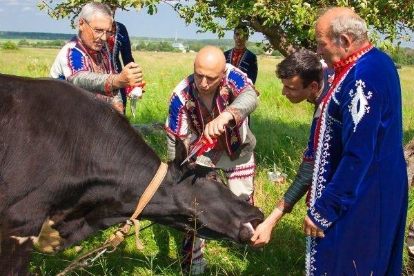 Как и когда производить убой крупного рогатого скота?