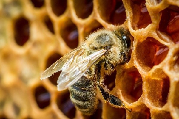 Как и зачем пчелы делают мед: его количество и этапы «производства»