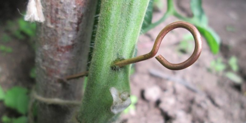 Как медная проволка предотвращает фитофтороз на томатах
