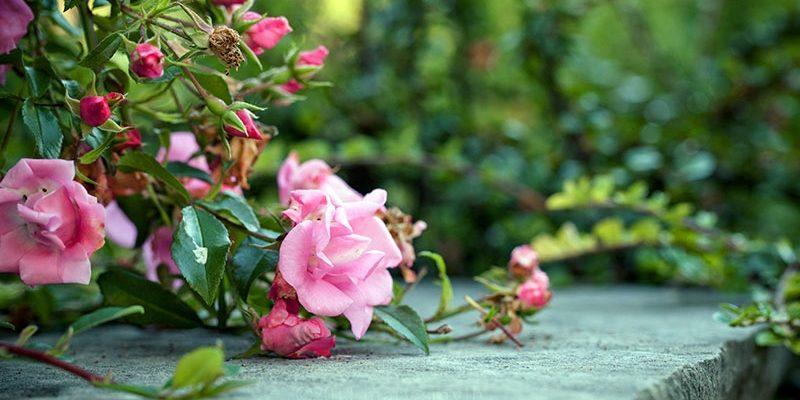Как нужно правильно укрыть розы на зиму в Подмосковье