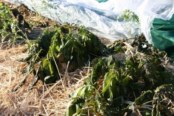 Как посадить картофель под зиму, чтобы получить ранний урожай?