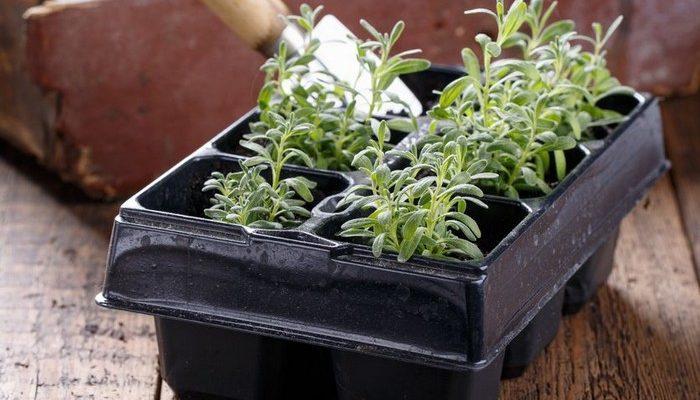 Как посеять лаванду семенами на рассаду в домашних условиях