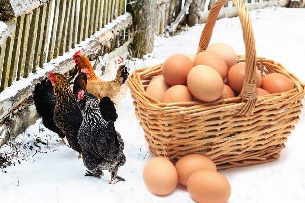 Как повысить яйценоскость куриц в зимний период?