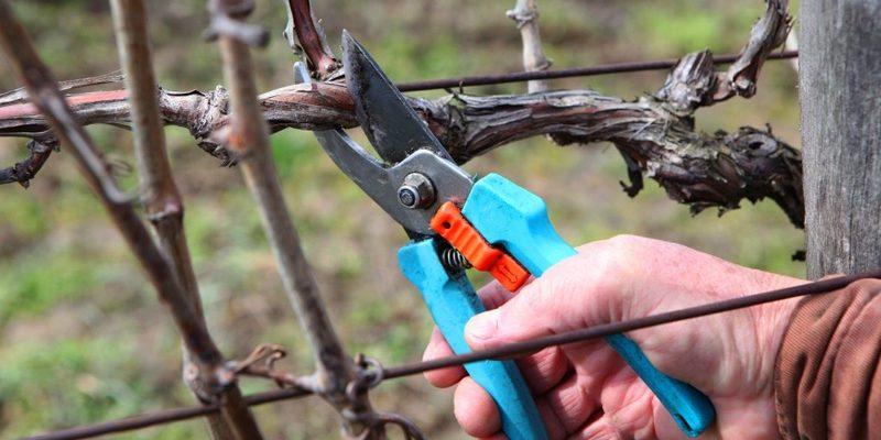 Как правильно обрезать виноград на зиму: от теории до практики