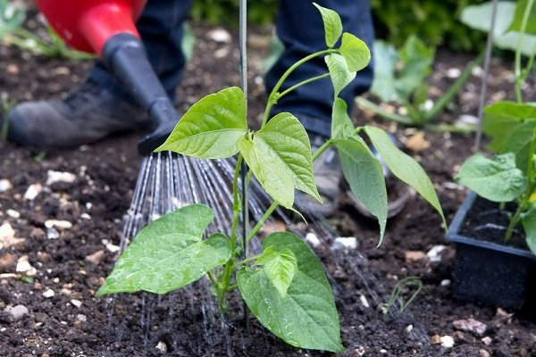 Как правильно поливать фасоль для обильного урожая?