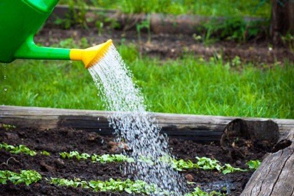 Как правильно поливать горох?