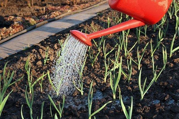 Как правильно поливать лук?