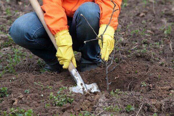 Как правильно посадить осенью черешню: подробные инструкции