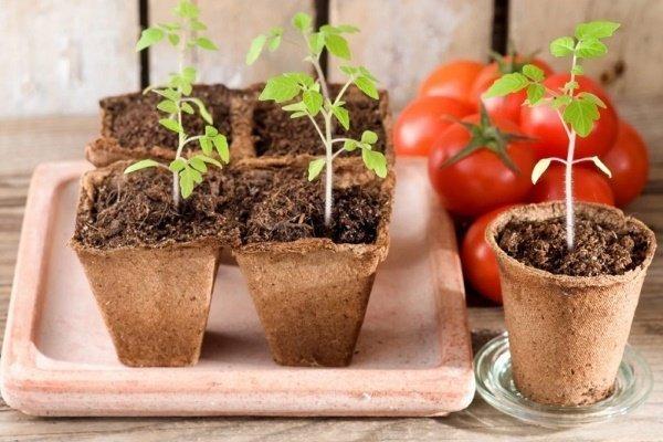 Как правильно проращивать семена помидоров на рассаду?