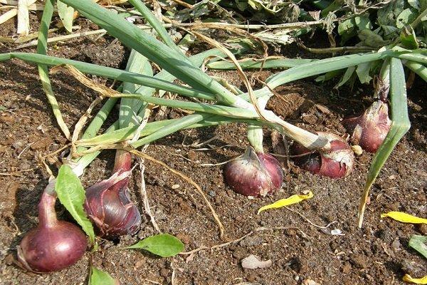 Как правильно выращивать Крымский лук?