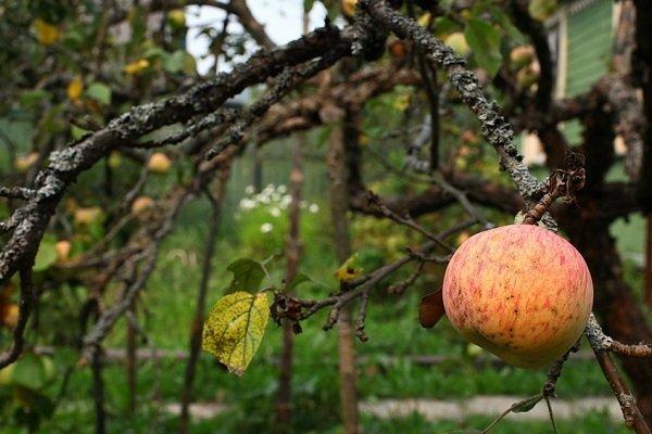 Как продлить жизнь старой яблони?
