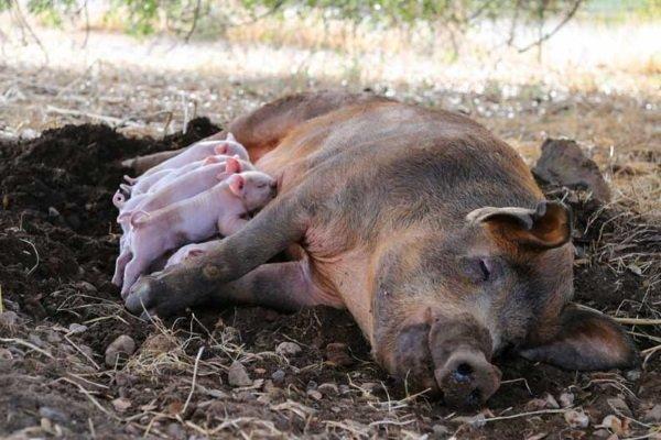 Как проходят роды у свиньи и какова роль человека в процессе опороса?