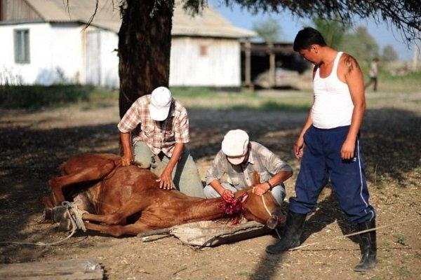 Как произвести забой лошади?