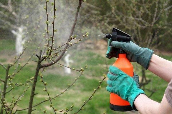 Как проводить обработку черешни весной от болезней и вредителей?