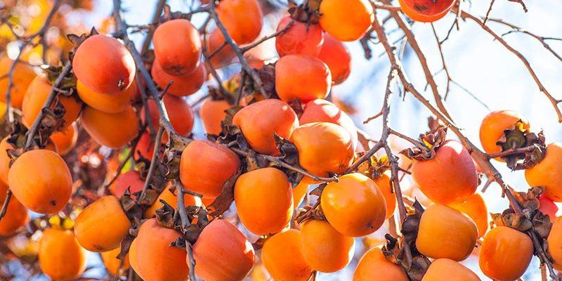 Как растёт хурма: сорта и способы размножения