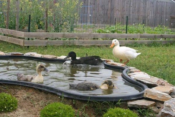 Как сделать пруд для гусей своими руками?