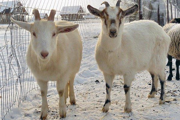 Как содержать коз зимой?