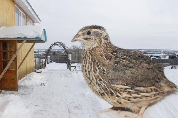 Как содержать перепелов в сарае в зимний период?