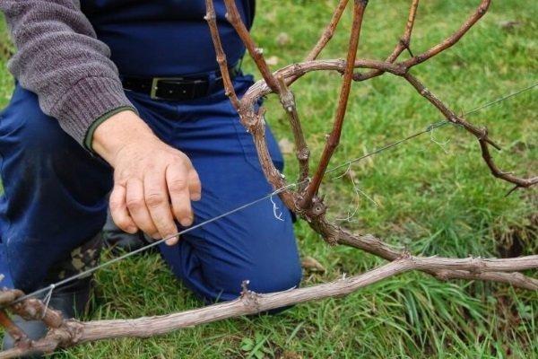 Как ухаживать за виноградом осенью? Основные принципы и пошаговые инструкции